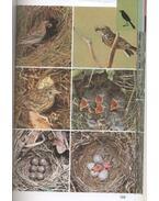 Szárazföldi madarak - Sauer, Frieder